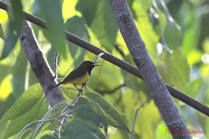 Olivebacked_sunbird01_1