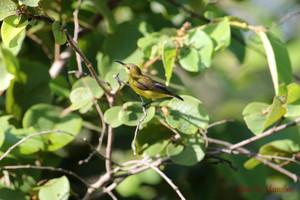 Olivebacked_sunbird03_1