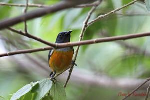 Orangebellied_flowerpecker02_1
