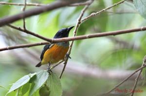 Orangebellied_flowerpecker03_1