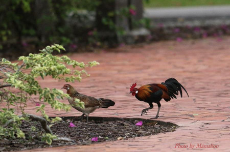 Red_junglefowl01_1