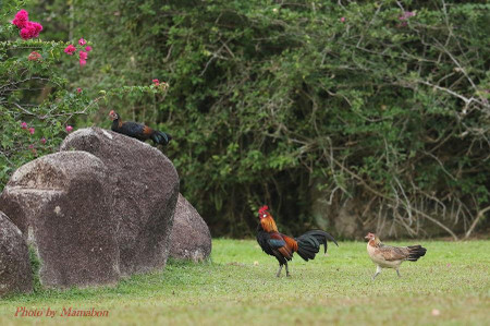 Red_junglefowl02_1