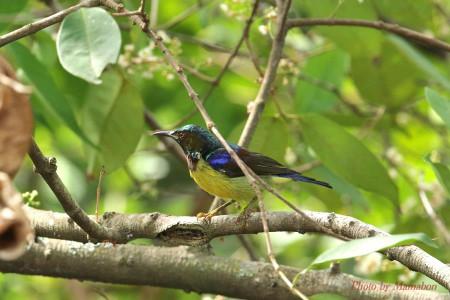 Brownthroated_sunbird01_1