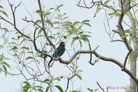 Oriental_dollarbird01_1