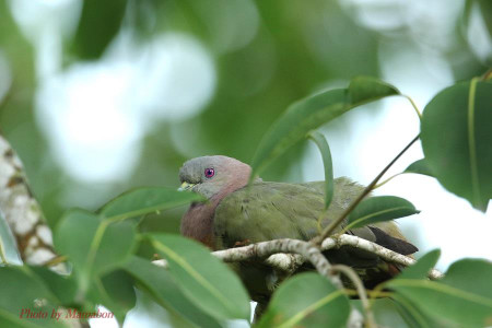 Pinknecked_green_pigeon01_1