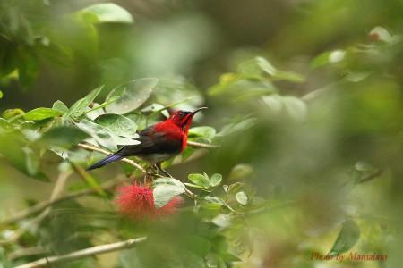 Crimson_sunbird01_1