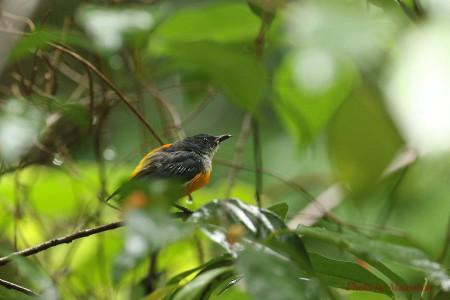 Orangebellied_flowerpecker04_1