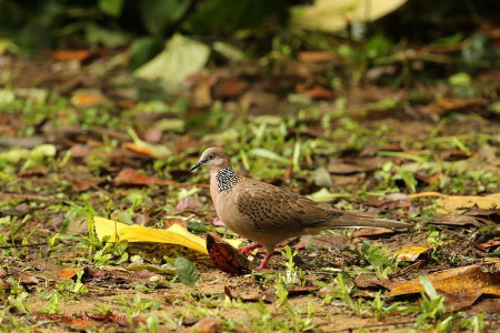 Spotted_dove01_1