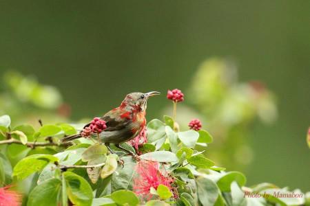 Crimson_sunbird02_1