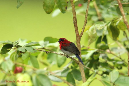 Crimson_sunbird03_1