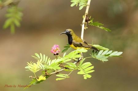Olivebacked_sunbird05_1