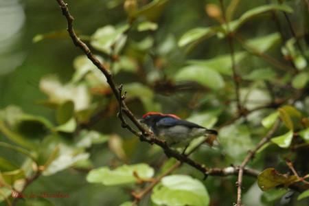 Scarletbacked_flowerpecker01_1