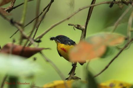 Crimsonbreasted_flowerpecker01_1