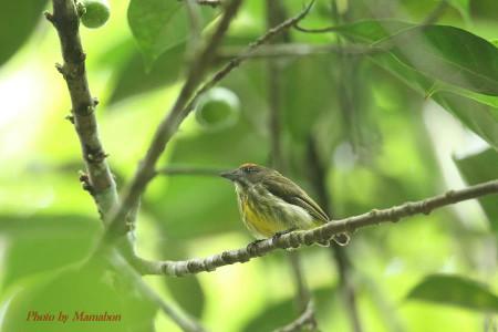 Yellowbreasted_flowerpecker01_1