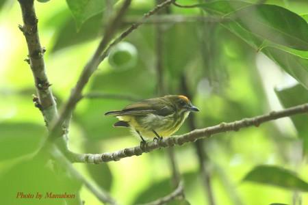 Yellowbreasted_flowerpecker02_1