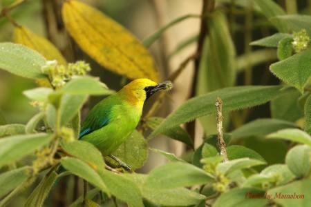 Bluewinged_leafbird01_1