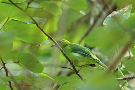 Bluewinged_leafbird02_1