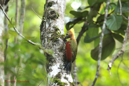 Chequerthroated_woodpecker01_1