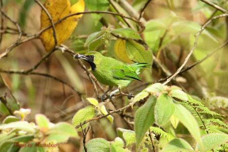 Lesser_green_leafbird01_1