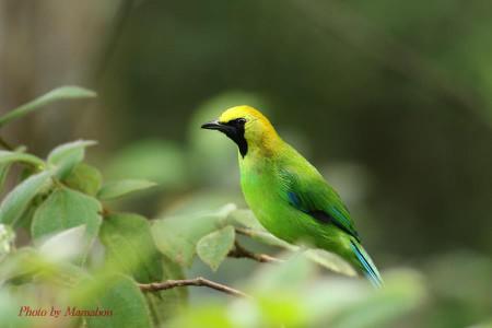 Bluewinged_leafbird03_1