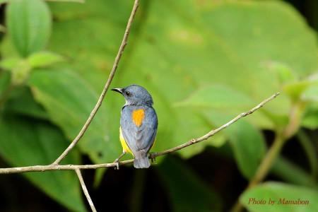 Orangebellied_flowerpecker08_1