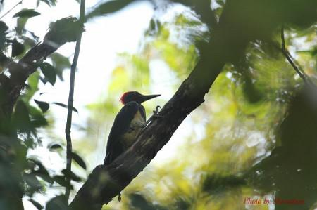 Whitebellied_woodpecker02_1