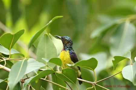 Brownthroated_sunbird02_1