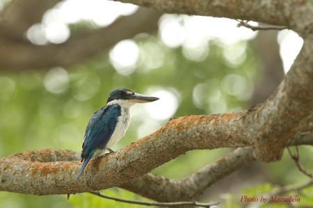 Collared_kingfisher02_1