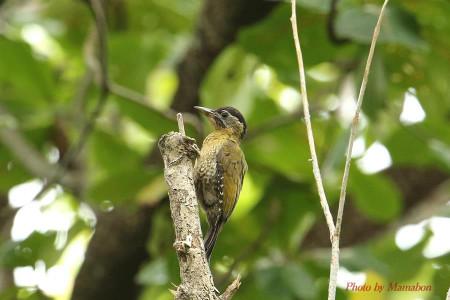 Laced_woodpecker01_1