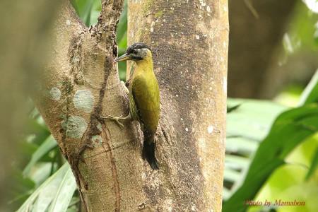 Laced_woodpecker02_1