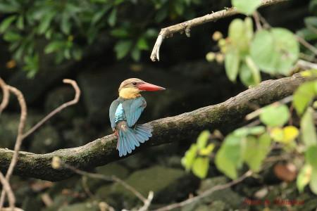 Storkbilled_kingfisher02_1