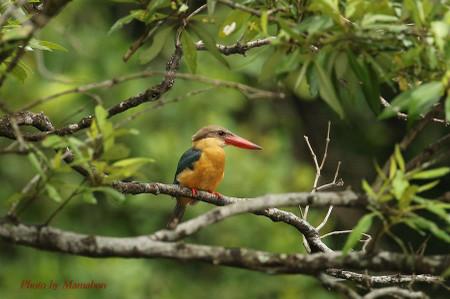 Storkbilled_kingfisher03_1