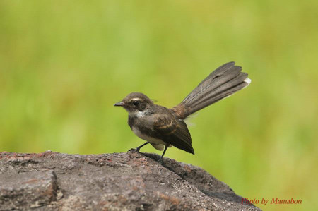 Pied_fantail01_1