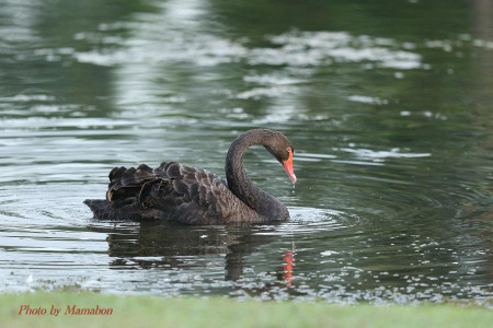 Black_swan01_1