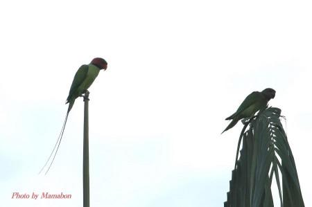 Longtailed_parakeet01_1