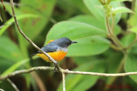 Orangebellied_flowerpecker10_1