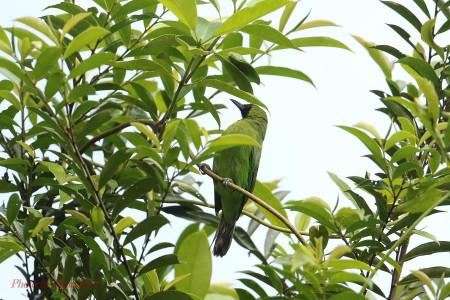 Lesser_green_leafbird02_1
