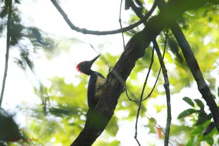 Whitebellied_woodpecker03_1