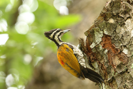 Common_flameback04