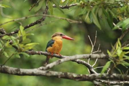 Storkbilled_kingfisher07