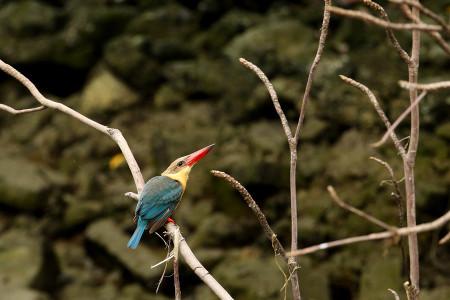 Storkbilled_kingfisher08